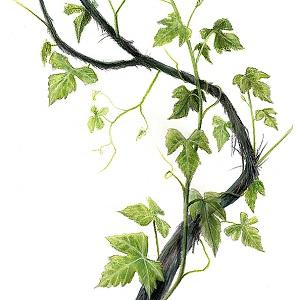 Dessin Vigne sauvage